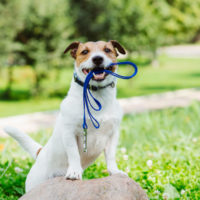 dog holds leash in mouth
