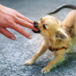 chihuahua puppy bites hand